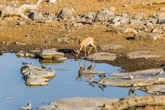 Female steenbok antelope at waterhole in the morning Royalty Free Stock Image