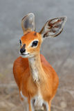 Female Steenbok closeup Stock Image