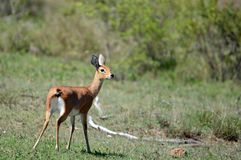 Female Steenbok (Raphicerus campestris) Royalty Free Stock Photography