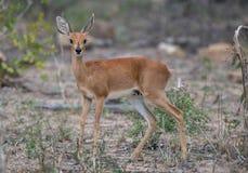 Female Steenbok Stock Photo