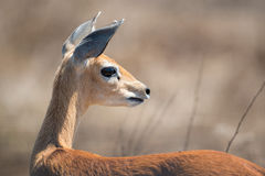 Female Steenbok. A female Steebok looking out into the distance Royalty Free Stock Photo