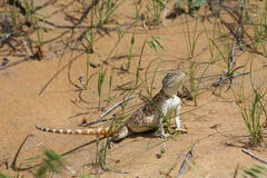 Female of steppe agama royalty free stock photos