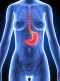 Female stomach Royalty Free Stock Photography