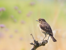 Female stone chat Stock Image