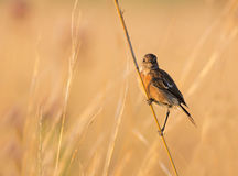 Female stone chat perched against a pleasing backg. Round. Image taken in late afternoon light royalty free stock images