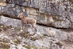 Female Stone Sheep Ovis dalli stonei leading lamb Royalty Free Stock Image