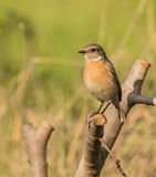Female Stonechat Stock Photo