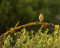 Female Stonechat Stock Images