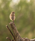 Female Stonechat Stock Image