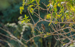 Female Stonechat with backlight Royalty Free Stock Images