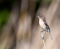Female Stonechat on branch Royalty Free Stock Images