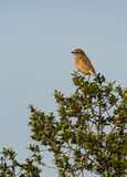 Female Stonechat on bush Royalty Free Stock Images