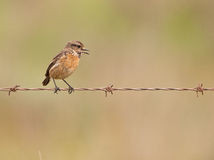 Female Stonechat on the fence Stock Photos