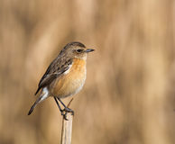 Female Stonechat on large twig Stock Photos