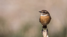 Female Stonechat. (Saxicola rubicola) is perching on wooden stick looking left Stock Images