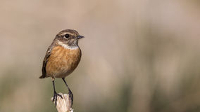 Female Stonechat. (Saxicola rubicola) is perching on wooden stick looking right Stock Photos