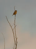 Female Stonechat on top of a bush Stock Photos