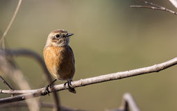 Female Stonechat on Tree Branch Royalty Free Stock Photos
