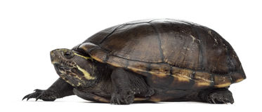 Female striped mud turtle, Kinosternon baurii. Female striped mud turtle (4 years old), Kinosternon baurii, in front of a white background Royalty Free Stock Images