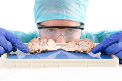 Female student with a dissected cow brain. Female anatomy student, medical technologist or pathologist with a dissected cow brain slice through the mid section stock photos