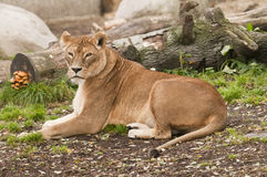 Female subject of lion Stock Photography