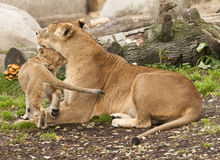 Female subject of lion with young Royalty Free Stock Photos