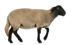 Female Suffolk sheep, Ovis aries, 2 years old. Standing in front of white background stock photography