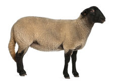 Female Suffolk sheep, Ovis aries, 2 years old Stock Photos