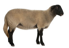 Female Suffolk sheep, Ovis aries, 2 years old Stock Photo