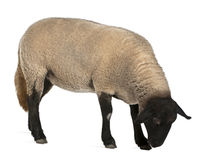 Female Suffolk sheep, Ovis aries, 2 years old. Standing in front of white background royalty free stock photography