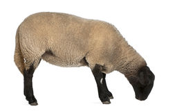 Female Suffolk sheep, Ovis aries, 2 years old. Standing in front of white background royalty free stock images