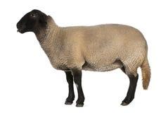 Female Suffolk sheep, Ovis aries, 2 years old Stock Photo