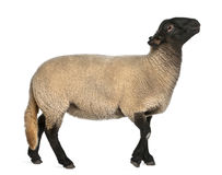 Female Suffolk sheep, Ovis aries, 2 years old. Standing in front of white background royalty free stock image