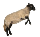 Female Suffolk sheep, Ovis aries, 2 years old. Jumping in front of white background stock photo