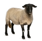Female Suffolk sheep, Ovis aries, 2 years old. Standing in front of white background stock photos