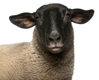 Female Suffolk sheep, Ovis aries, 2 years old. Portrait in front of white background stock images
