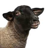 Female Suffolk sheep, Ovis aries, 2 years old. Portrait in front of white background royalty free stock photo