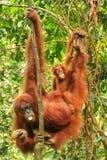 Female Sumatran orangutan with a baby hanging in the trees, Gunung Leuser National Park, Sumatra, Indonesia stock photos