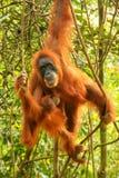 Female Sumatran orangutan with a baby hanging in the trees, Gunung Leuser National Park, Sumatra, Indonesia royalty free stock image