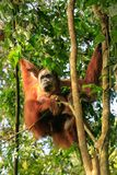 Female Sumatran orangutan with a baby sitting on a tree in Gunun. G Leuser National Park, Sumatra, Indonesia. Sumatran orangutan is endemic to the north of Stock Image