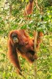 Female Sumatran orangutan with a baby sitting in a tree, Gunung stock images