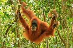 Female Sumatran orangutan hanging in the trees, Gunung Leuser National Park, Sumatra, Indonesia royalty free stock images