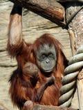 Female of Sumatran orangutan Pongo abelii with a baby. Female of Sumatran orangutan Pongo abelii Royalty Free Stock Photo