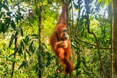 Female Sumatran orangutan hanging in the trees, Gunung Leuser Na. Female Sumatran orangutan Pongo abelii hanging in the trees, Gunung Leuser National Park Stock Photography