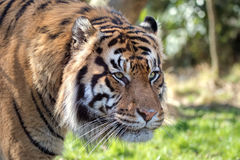 Female Sumatran Tiger. Female Sumatran Tiger Portrait. Endangered animal Stock Photo