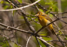 Female Summer Tanager Stock Photography