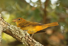Female Summer Tanager on Tree Branch. Close-up of a yellow female summer tanager perched on a tree branch on a blurred green background stock photo