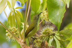 Female Sunbird bird in yellow green with long beak reaching for. Female Sunbird bird in yellow green with long beak standing on branch reaching for flower nectar Stock Images