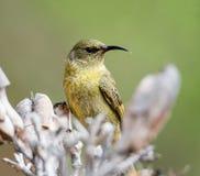 Female Sunbird Stock Photo