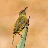 Female Sunbird Royalty Free Stock Image